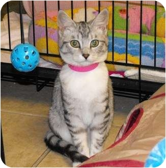 Domestic Shorthair Kitten for adoption in Byron Center, Michigan - Seraphina