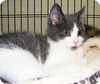 Domestic Shorthair Cat for adoption in SYDNEY, Nova Scotia - Ann Marie