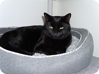 Domestic Shorthair Cat for adoption in Port Clinton, Ohio - Bombay