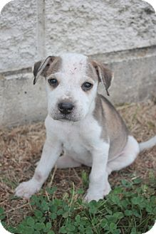 Australian Cattle Dog Mix Puppy for adoption in Stilwell, Oklahoma - Pearl
