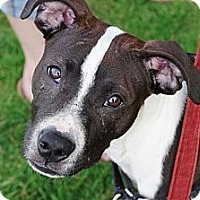 Adopt A Pet :: Tommy - Reisterstown, MD