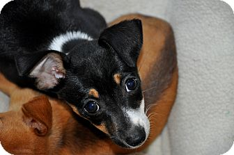 Dachshund/Chihuahua Mix Puppy for adoption in Newark, Delaware - Wilbur