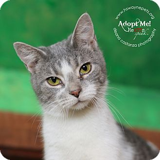 Domestic Shorthair Cat for adoption in Lyons, New York - Charleen