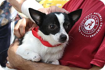 Chihuahua Dog for adoption in Daleville, Alabama - Tinkerbell