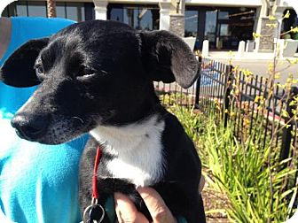 Dachshund/Chihuahua Mix Dog for adoption in Van Nuys, California - *URGENT* Willow