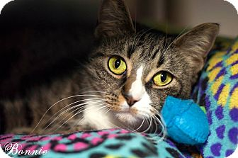 Domestic Shorthair Cat for adoption in Manahawkin, New Jersey - Bonnie