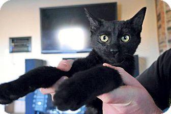 Domestic Shorthair Kitten for adoption in Oklahoma City, Oklahoma - TacoCat