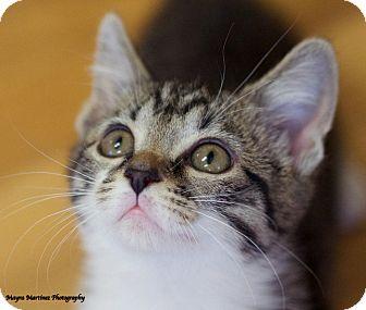 Domestic Shorthair Kitten for adoption in Huntsville, Alabama - Merlot