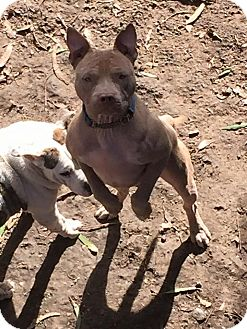American Pit Bull Terrier Mix Dog for adoption in Sacramento, California - Wesley