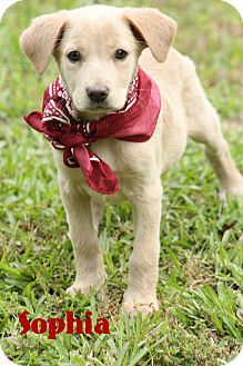 Golden Retriever/Catahoula Leopard Dog Mix Puppy for adoption in Haggerstown, Maryland - Sophia