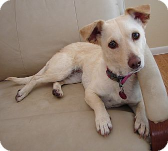 Dachshund/Terrier (Unknown Type, Small) Mix Dog for adoption in Hurricane, Utah - PENNY