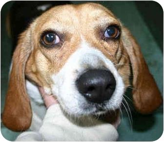 Beagle Dog for adoption in Portland, Oregon - Pebbles