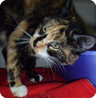 Domestic Shorthair Cat for adoption in Hamburg, New York - Sassy Lou
