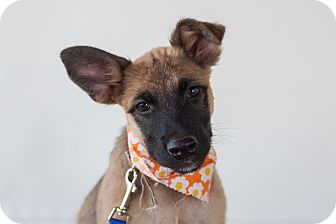German Shepherd Dog Mix Puppy for adoption in Seattle, Washington - Lola