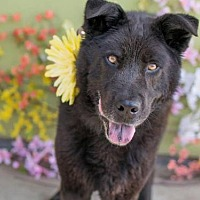 Chow Chow Mix Dog for adoption in San Diego, California - Osito