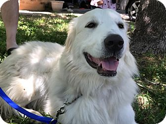 Great Pyrenees Dog for adoption in Kyle, Texas - Gypsy Snow