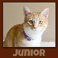 Domestic Shorthair Cat for adoption in Indianapolis, Indiana - Junior