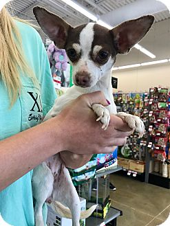 Chihuahua Mix Dog for adoption in Fort Collins, Colorado - Bizzy