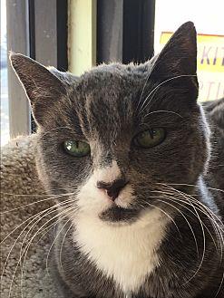 Domestic Shorthair Cat for adoption in Sherman Oaks, California - Gigi