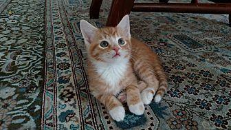 Domestic Shorthair Kitten for adoption in Shelbyville, Kentucky - Indiana Jones