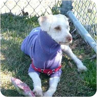 Poodle (Miniature) Mix Dog for adoption in San Clemente, California - TYCO