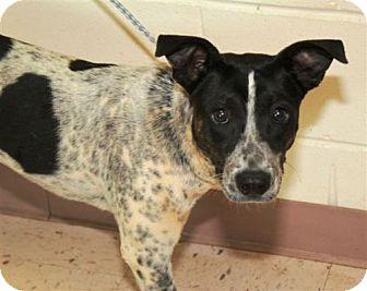 Australian Cattle Dog Mix Dog for adoption in Lebanon, Maine - Nolan-URGENT in GA