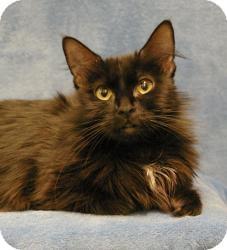 Domestic Mediumhair Cat for adoption in Sacramento, California - Star