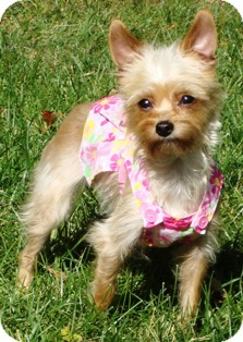 Yorkie, Yorkshire Terrier/Chihuahua Mix Dog for adoption in Osseo, Minnesota - Ginger and Romeo