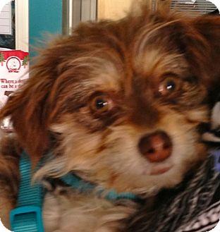 Tibetan Spaniel Mix Dog for adoption in Thousand Oaks, California - Beyonce