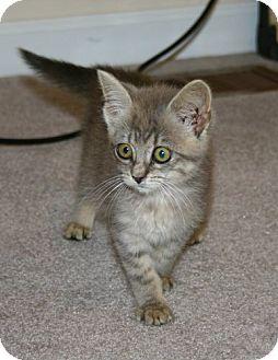 Domestic Shorthair Kitten for adoption in Spring Valley, New York - HIldy
