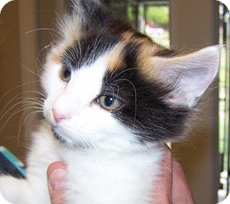 Domestic Longhair Kitten for adoption in Grants Pass, Oregon - Pinto