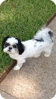 Shih Tzu Dog for adoption in Metairie, Louisiana - Brewster