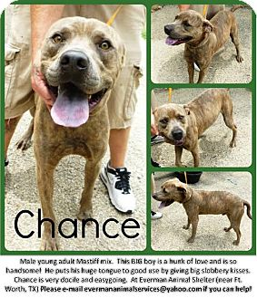 Mastiff/American Pit Bull Terrier Mix Dog for adoption in Everman, Texas - Chance