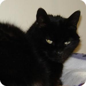 Domestic Shorthair Cat for adoption in Naperville, Illinois - Bibi
