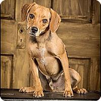 Adopt A Pet :: Sam - Owensboro, KY