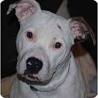 Adopt A Pet :: Clancy URGENT FOSTER NEEDED - Seattle, WA