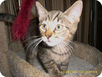 Domestic Shorthair Kitten for adoption in Brea, California - PARKER