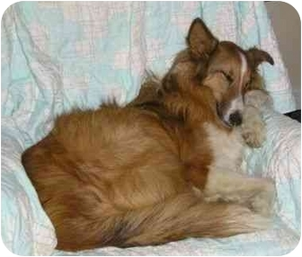 Collie Dog for adoption in Baldwin, New York - Sunny