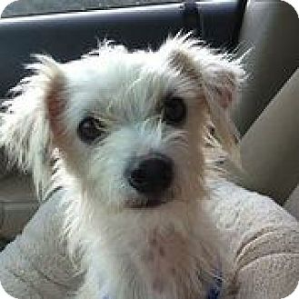 chinese crested terrier sumit adopted dog austin tx westie west highland 9944