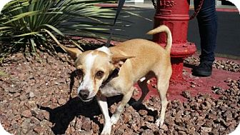 Chihuahua Mix Dog for adoption in Las Vegas, Nevada - Buddy