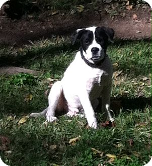 Boxer/Labrador Retriever Mix Puppy for adoption in knoxville, Tennessee - OREO