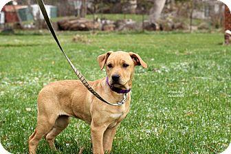 Labrador Retriever Mix Puppy for adoption in Flushing, Michigan - Butterscotch
