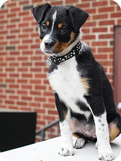 Shepherd (Unknown Type)/Collie Mix Puppy for adoption in Detroit, Michigan - Cindy Lou Who-Adopted!