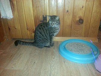 Domestic Shorthair Cat for adoption in Trexlertown, Pennsylvania - Sarah-New Pics!