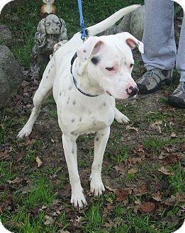 Dalmatian Mix Dog for adoption in Sonoma, California - Pongo