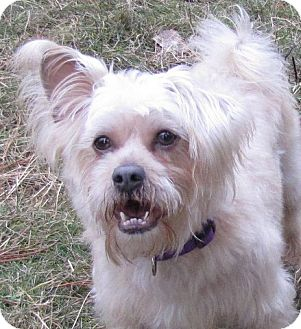 Terrier (Unknown Type, Small) Mix Dog for adoption in Roslyn, Washington - Boo