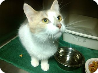 Domestic Shorthair Cat for adoption in Muskegon, Michigan - Dusty