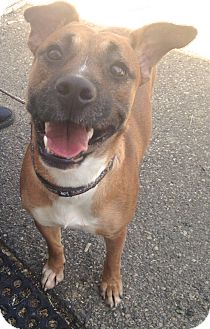 Boxer/German Shepherd Dog Mix Dog for adoption in Pompton Lakes, New Jersey - GABBY
