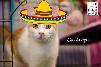 Domestic Shorthair Cat for adoption in Albuquerque, New Mexico - Calliope