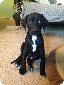 Labrador Retriever Mix Puppy for adoption in Concord, California - Cleo